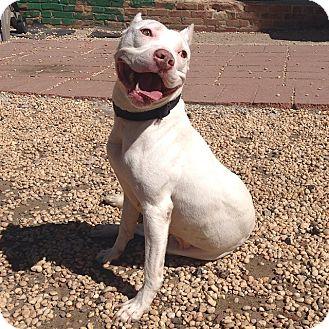 Pit Bull Terrier Mix Dog for adoption in Philadelphia, Pennsylvania - Sabrina