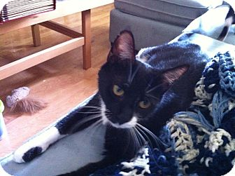Domestic Shorthair Cat for adoption in Arlington/Ft Worth, Texas - Queen Victoria