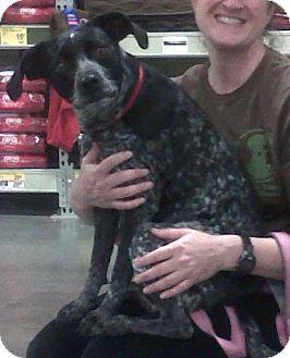 Pointer/Terrier (Unknown Type, Medium) Mix Dog for adoption in Bellingham, Washington - Angel