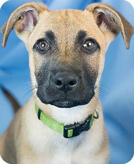 German Shepherd Dog Mix Puppy for adoption in Augusta, Maine - Gabe