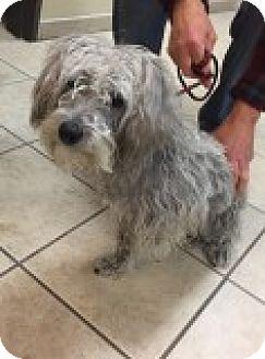 Schnauzer (Miniature)/Poodle (Miniature) Mix Dog for adoption in Las Vegas, Nevada - Cosmo