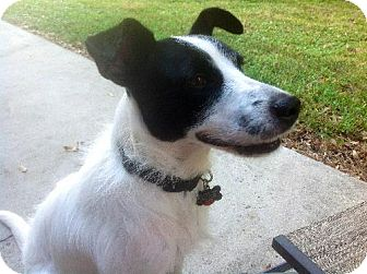 Jack Russell Terrier Mix Dog for adoption in Satellite Beach, Florida - Bailey
