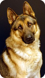 German Shepherd Dog Dog for adoption in Newland, North Carolina - Kudos