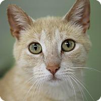 Adopt A Pet :: Dreamcatcher - Chicago, IL