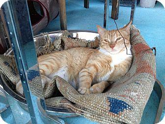 Domestic Mediumhair Cat for adoption in Brooklyn, New York - Annie