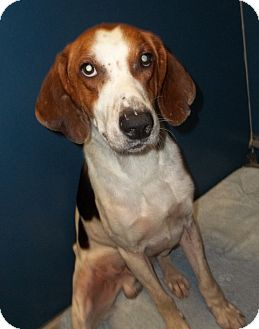 Treeing Walker Coonhound Mix Dog for adoption in Warrenton, North Carolina - Woody
