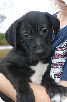 Hound (Unknown Type)/Retriever (Unknown Type) Mix Puppy for adoption in Baltimore, Maryland - Nestle