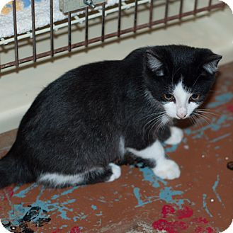 Domestic Shorthair Cat for adoption in New Martinsville, West Virginia - Andy