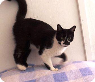 Domestic Shorthair Cat for adoption in Transfer, Pennsylvania - Theodore