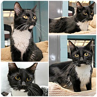 Domestic Mediumhair Cat for adoption in Forked River, New Jersey - Tanya