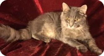 Domestic Shorthair Kitten for adoption in Hillside, Illinois - Oliver-MAINE COON MIX - 8/13