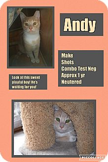 Domestic Shorthair Cat for adoption in CLEVELAND, Ohio - Andy