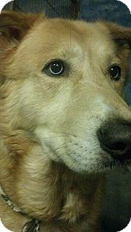 Labrador Retriever/Husky Mix Dog for adoption in Savannah, Georgia - Bubba
