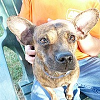 Dachshund Mix Dog for adoption in Phoenix, Arizona - Dahlia