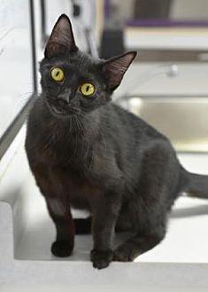 Domestic Shorthair/Domestic Shorthair Mix Cat for adoption in Freeport, Illinois - Rosebud