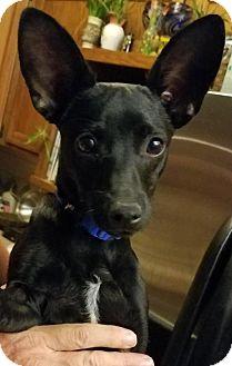 Xoloitzcuintle/Mexican Hairless Mix Dog for adoption in Tucson, Arizona - Noche