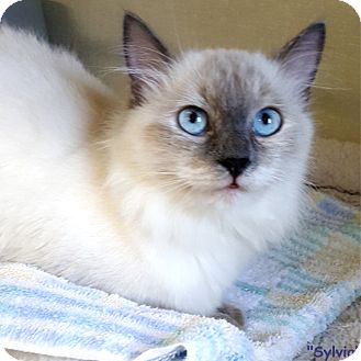 Himalayan Cat for adoption in Key Largo, Florida - Sylvia