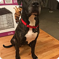 American Pit Bull Terrier Mix Dog for adoption in Plainfield, Illinois - Addison
