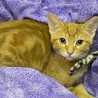 Adopt A Pet :: Cheddar - Addison, IL