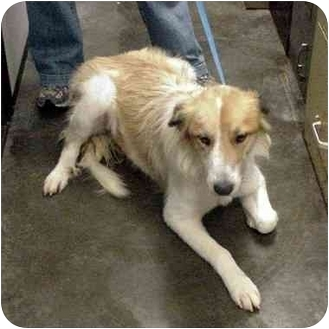 Collie Mix Dog for adoption in Manassas, Virginia - Buttercup