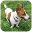 Photo 1 - Jack Russell Terrier Mix Dog for adoption in Sugar Land, Texas - Cricket