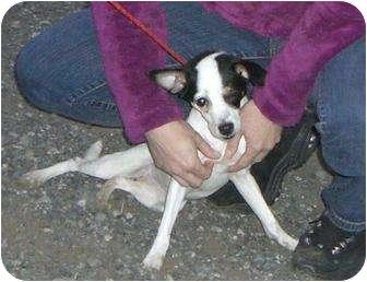 Rat Terrier Mix Dog for adoption in Bellingham, Washington - Poppy