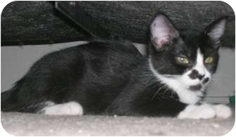 Domestic Shorthair Cat for adoption in North Highlands, California - Lexi