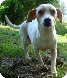 Chihuahua/Whippet Mix Dog for adoption in Beacon, New York - CheeWaaWaa(CR)