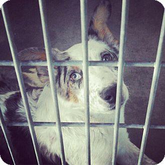 Australian Shepherd Puppy for adoption in Escondido, California - Linc