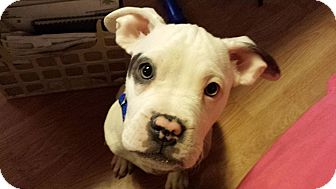 American Bulldog/American Pit Bull Terrier Mix Puppy for adoption in Troy, Michigan - Dominic