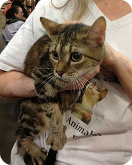 Domestic Shorthair Cat for adoption in Pittstown, New Jersey - Lana