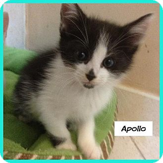 Domestic Shorthair Cat for adoption in Miami, Florida - Apollo