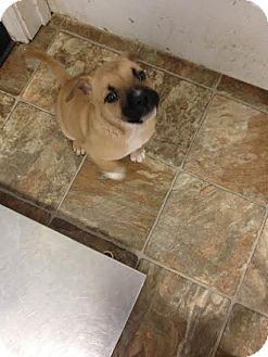 American Pit Bull Terrier Mix Puppy for adoption in Darlington, South Carolina - Bam-Bam