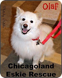 American Eskimo Dog Dog for adoption in Elmhurst, Illinois - Olaf