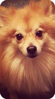 Pomeranian Dog for adoption in Hagerstown, Maryland - Jacob