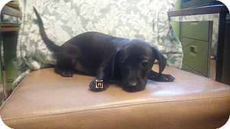 Dachshund Mix Puppy for adoption in Moberly, Missouri - Unknown