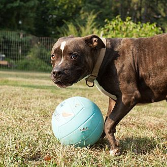 American Staffordshire Terrier Mix Dog for adoption in Midlothian, Virginia - Candy