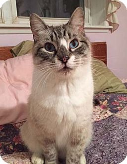 Siamese Cat for adoption in Merrifield, Virginia - Bubba Joe
