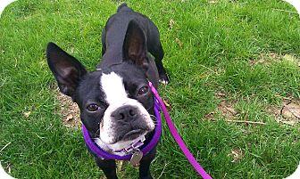 Boston Terrier Dog for adoption in Greensboro, North Carolina - Penny