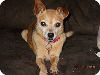 Pomeranian/Chihuahua Mix Dog for adoption in haslet, Texas - Lulu