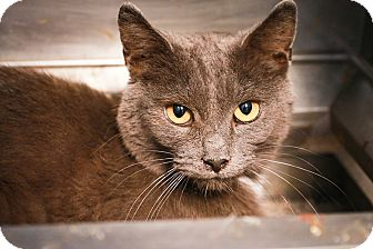 Domestic Shorthair Cat for adoption in Loogootee, Indiana - Cato
