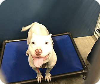 Pit Bull Terrier Mix Dog for adoption in Henderson, North Carolina - Lola