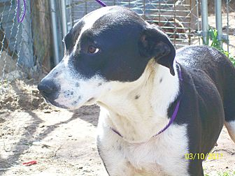 Border Collie/Anatolian Shepherd Mix Dog for adoption in Mexia, Texas - Roxy