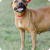Adopt A Pet :: Cherokee $125 - Seneca, SC