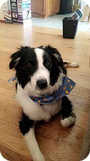 Australian Shepherd Puppy for adoption in Broken Arrow, Oklahoma - Maverick