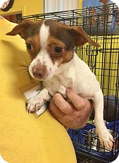 Jack Russell Terrier Mix Dog for adoption in Boca Raton, Florida - Timmy