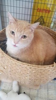 Domestic Shorthair/Domestic Shorthair Mix Cat for adoption in Manitowoc, Wisconsin - Travis
