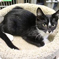 Adopt A Pet :: Boots - Murphysboro, IL
