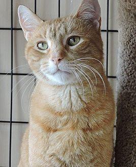 Domestic Shorthair Cat for adoption in Massapequa, New York - Sonny