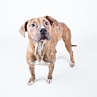 Adopt A Pet :: Tiger - Decatur, GA